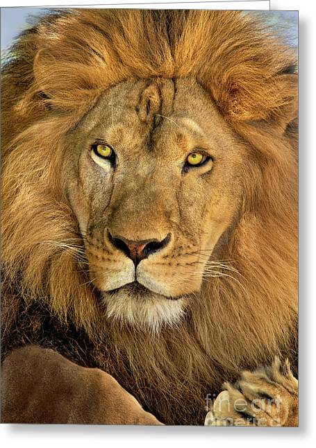 Male African Lion Portrait Wildlife Rescue Greeting Card