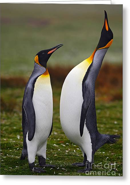Male And Female Of King Penguin, Couple Greeting Card by Ondrej Prosicky