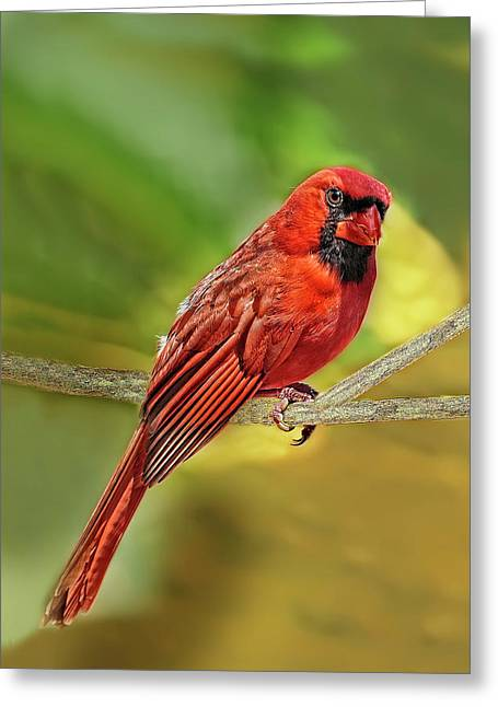 Male Cardinal Headshot  Greeting Card