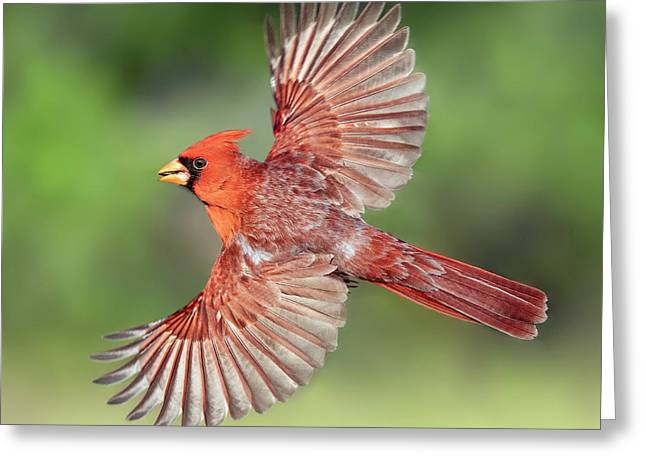 Male Cardinal In Flight Greeting Card