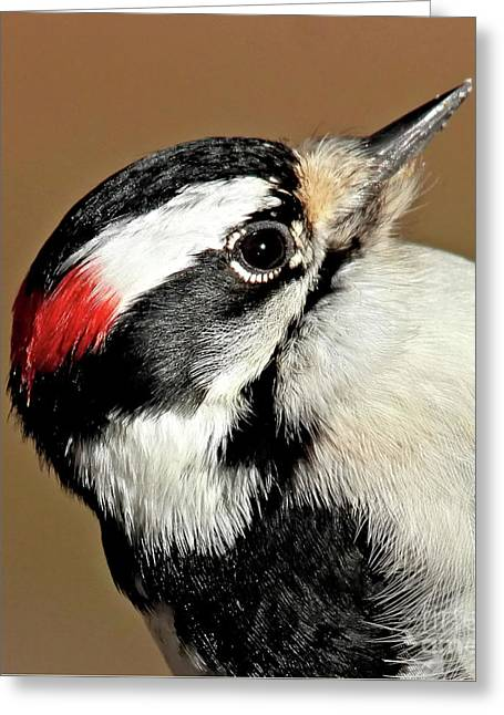 Male Downy Woodpecker Greeting Card