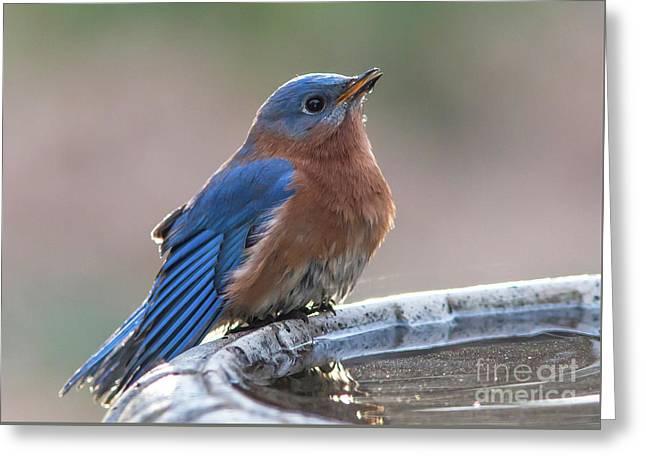Male Eastern Blue Bird Greeting Card