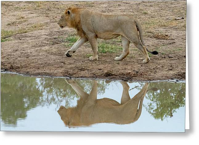 Male Lion And His Reflection Greeting Card
