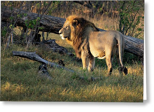 Male Lion In Botswana Greeting Card