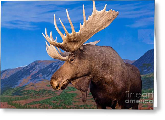 Male Moose Against Backdrop Of Mountains Greeting Card