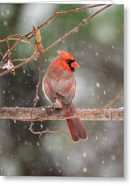 Male Red Cardinal Snowstorm Greeting Card