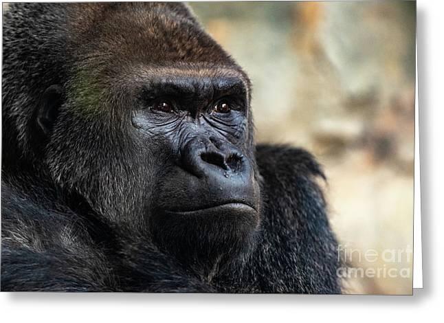 Male Western Gorilla Looking Around, Gorilla Gorilla Gorilla Greeting Card