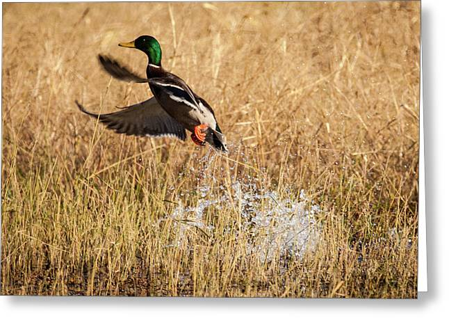 Greeting Card featuring the photograph Mallard Explosion by Jeff Phillippi
