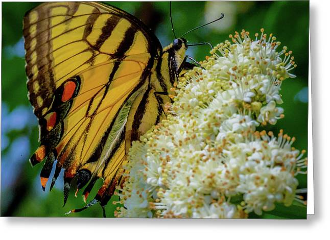 Manassas Butterfly Greeting Card
