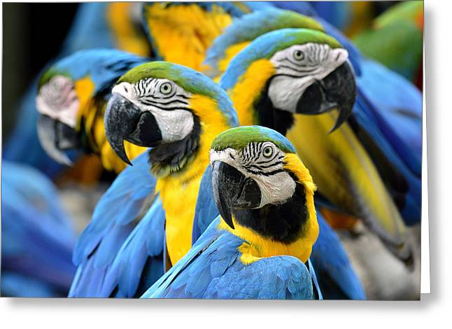 Many Of Blue And Gold Macaw Perching Greeting Card by Super Prin