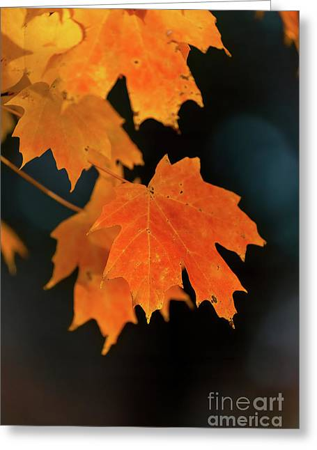 Maple-1 Greeting Card