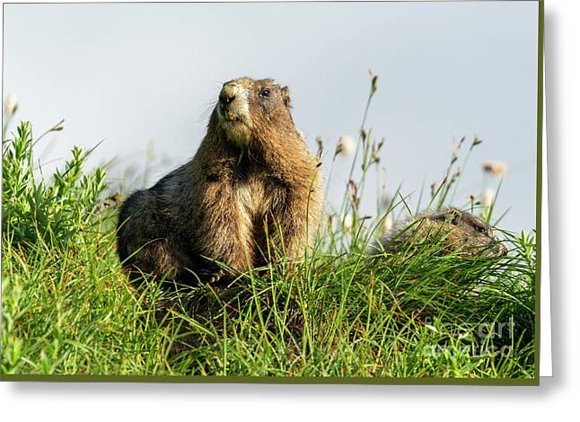 Marmot Pair Greeting Card