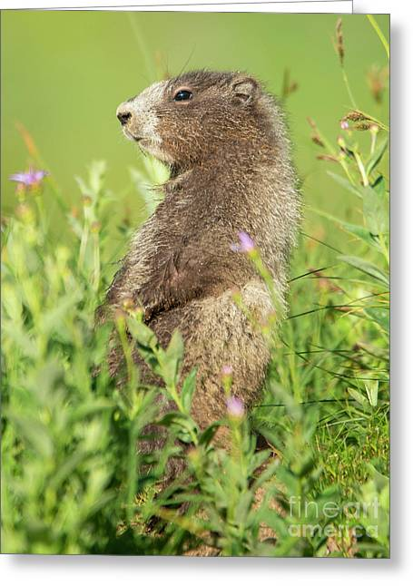 Marmot Youngster Greeting Card