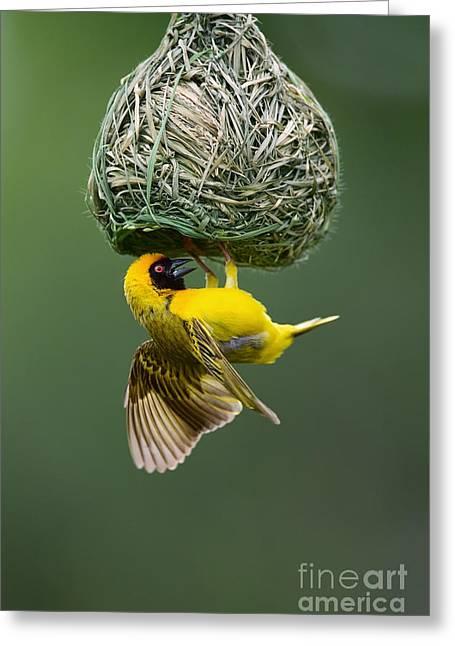 Masked Weaver Ploceus Velatus Hanging Greeting Card