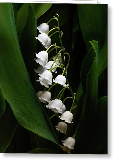 May Lily Aka Lily Of The Valley Greeting Card