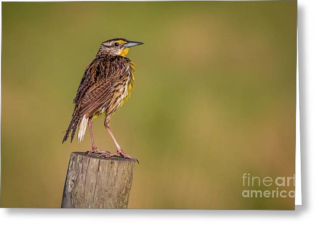 Meadowlark On Post Greeting Card