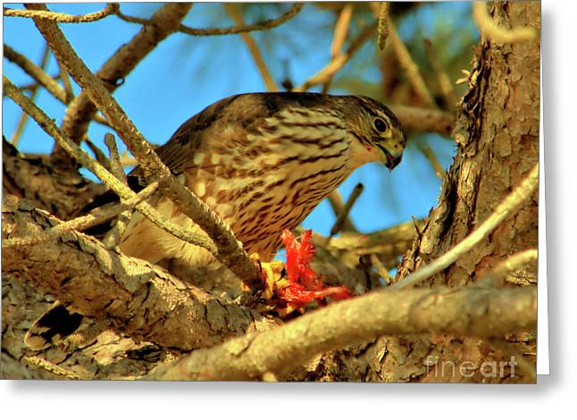 Greeting Card featuring the photograph Merlin Eating Breakfast by Debbie Stahre