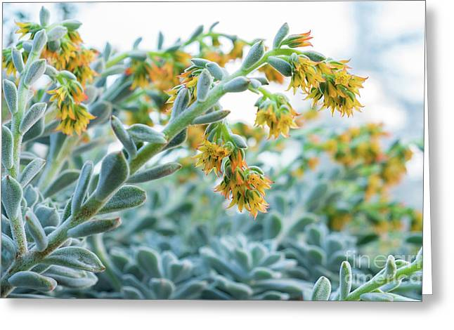 Mexican Echeveria In The  Morning Greeting Card