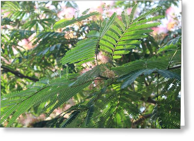 Mimosa Tree Blooms And Fronds Greeting Card