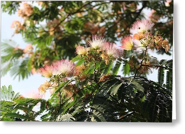 Mimosa Tree Flowers Greeting Card