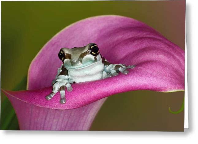 Mission Golden-eyed Tree Frog Or Milk Greeting Card by Adam Jones
