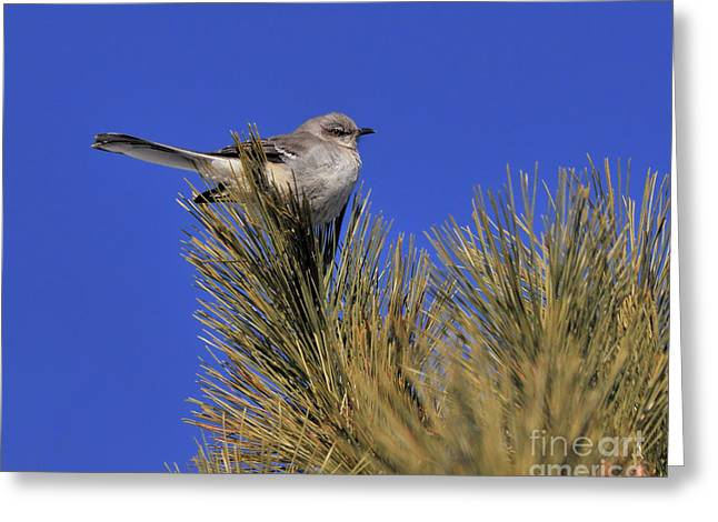 Mockingbird In White Pine Greeting Card