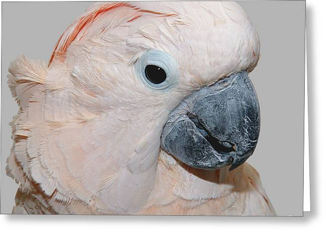 Greeting Card featuring the photograph Moluccan Cockatoo by Debbie Stahre