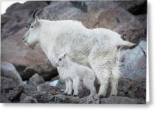 Mom And Baby Mountain Goat Greeting Card