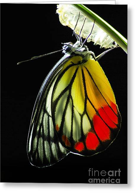 Monarch Butterfly, Milkweed Mania, Baby Greeting Card