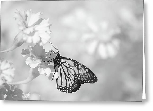 Greeting Card featuring the photograph Monarch In Infrared by Brian Hale