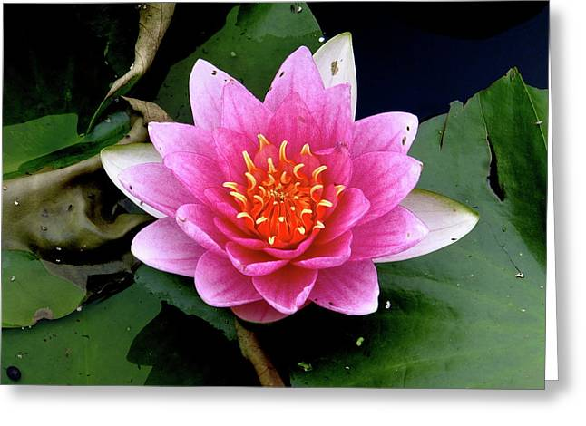 Monet Water Lilly Greeting Card