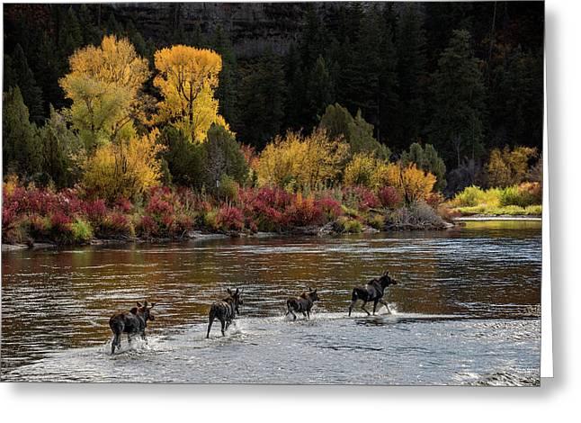 Moose Crossing Greeting Card by Leland D Howard