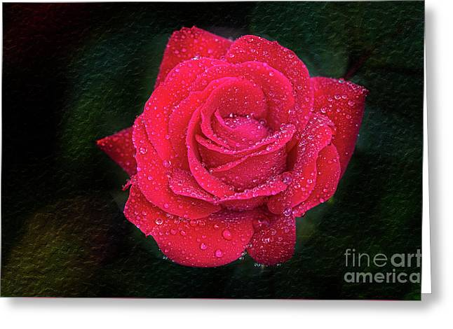Morning Mist On Red Rose Greeting Card