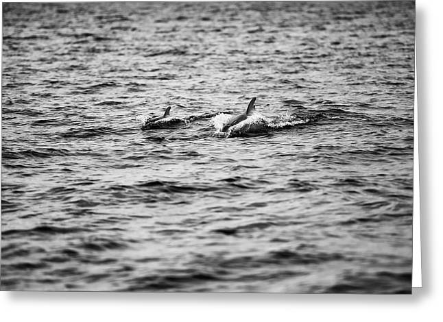 Mother Dolphin And Calf Swimming In Moreton Bay. Black And White Greeting Card