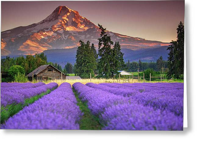 Mount Hood Lavender Field  Greeting Card