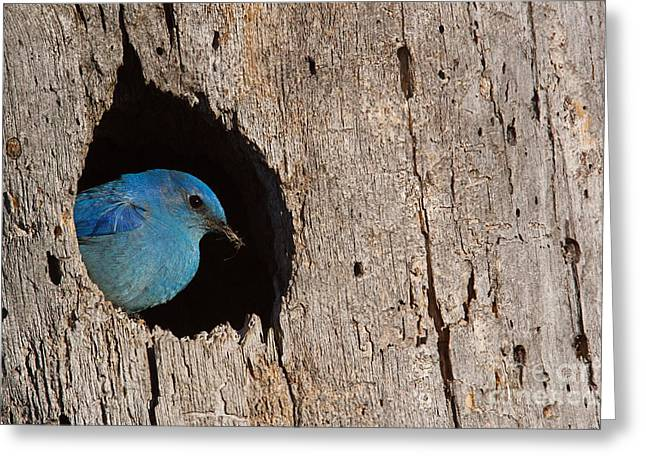 Mountain Bluebird, Sialia Currucoides Greeting Card