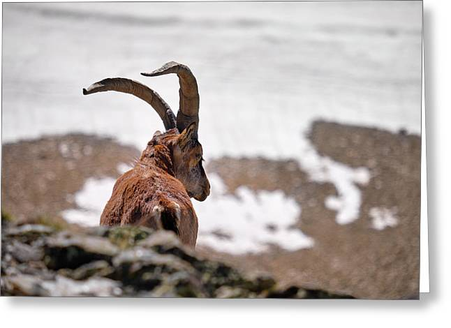 Mountain Goat . 3.000 Meters High. Greeting Card