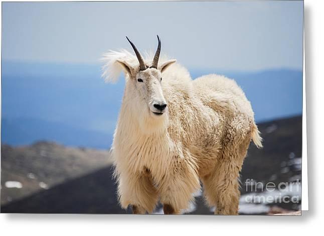 Mountain Goat Greeting Card