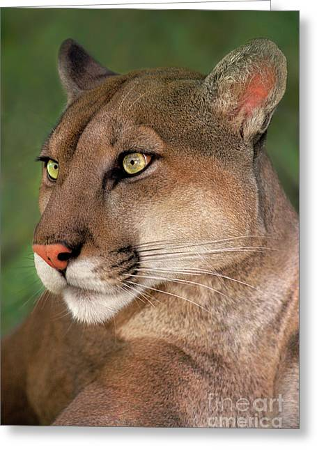 Mountain Lion Portrait Wildlife Rescue Greeting Card