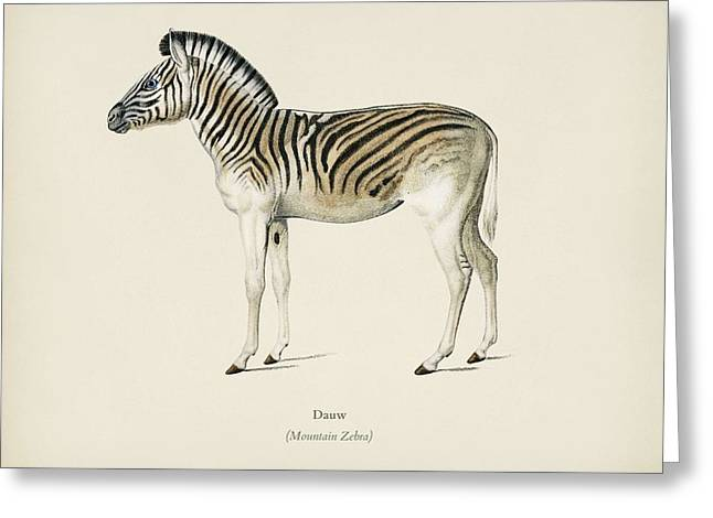 Mountain Zebra  Dauw  Illustrated By Charles Dessalines D' Orbigny  1806-1876 2 Greeting Card