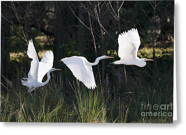 Multiple Exposures Of Large White Bird Greeting Card