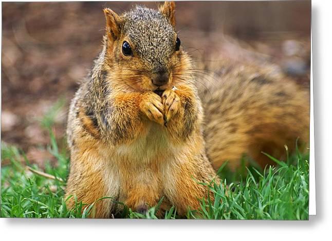 Munching Cute Fox Squirrel Greeting Card