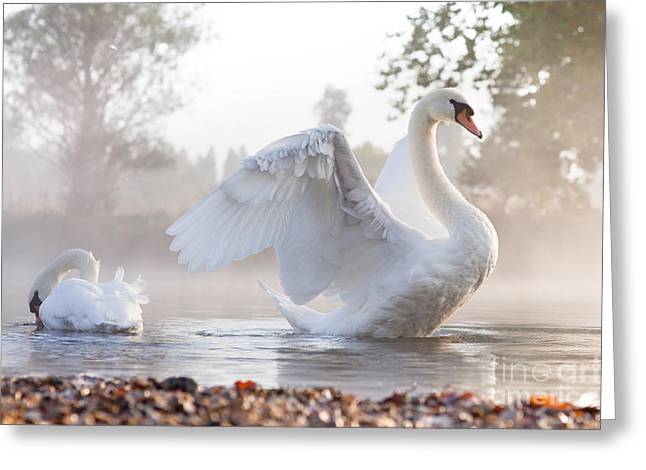 Mute Swan Cygnus Olor Stretching On A Greeting Card