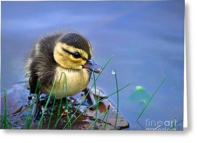 Newborn Duckling Greeting Card