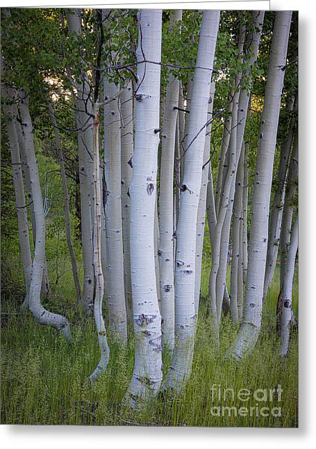 North Rim Birch Trees Greeting Card