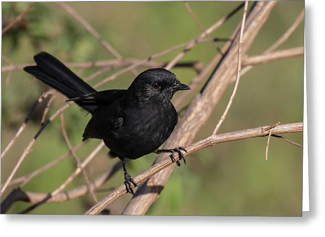 Northern Black Flycatcher Greeting Card