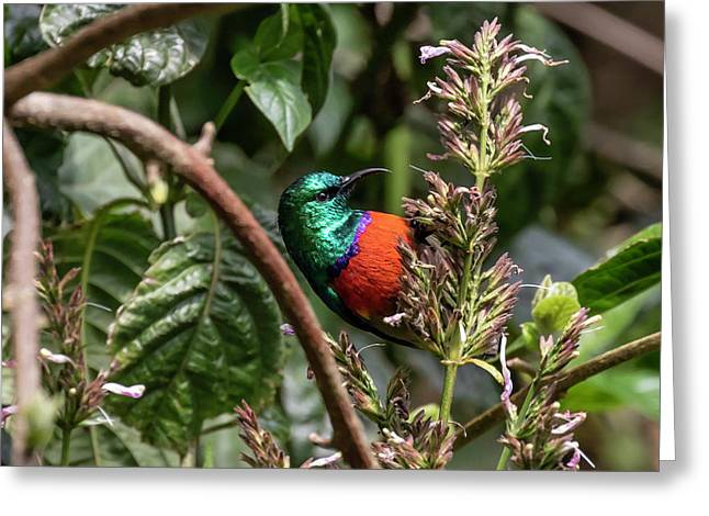 Northern Double-collared Sunbird Greeting Card