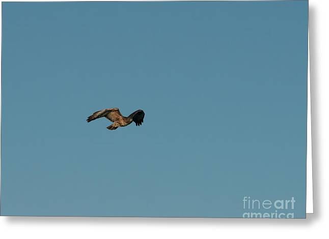 Greeting Card featuring the photograph Northern Harrier In A Hurry by Jon Burch Photography