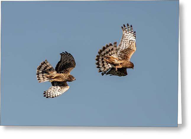 Northern Harriers 7 Greeting Card