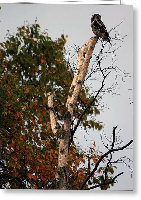 Greeting Card featuring the photograph Northern Hawk Owl 101402 by Rick Veldman